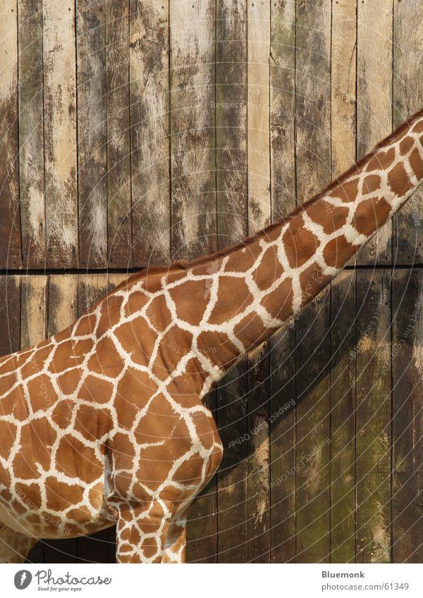völlig kopflos Tier Holz braun Zoo Tor Fleck Safari scheckig Giraffe