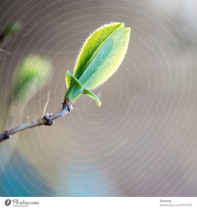 Das erste Grün... Umwelt Natur Frühling Pflanze Blütenknospen Sträucher Wald elegant frisch Glück natürlich positiv grün Gefühle Stimmung Fröhlichkeit