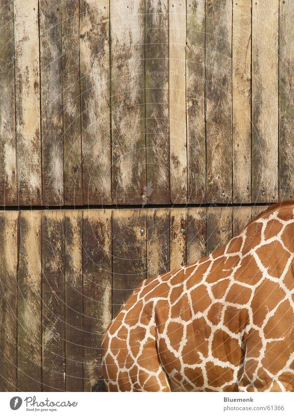 ein schöner rücken kann auch entzücken... Holz Rücken Zoo Tor Fleck Safari scheckig Giraffe Tier