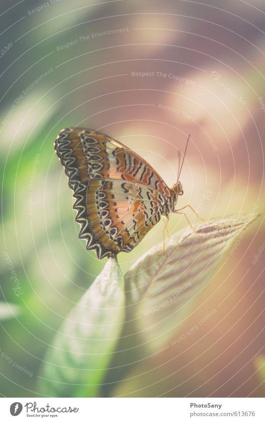 Schmetterling I Natur Pflanze Wildtier Flügel Zoo 1 Tier warten elegant schön klein braun gelb grün violett Leichtigkeit papiliorama zart sanft leicht Farbfoto