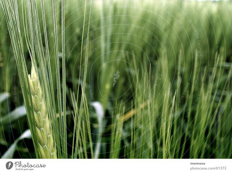 wachsen Feld Frühling Wachstum Getreide Korn Strichhaar Detailaufnahme