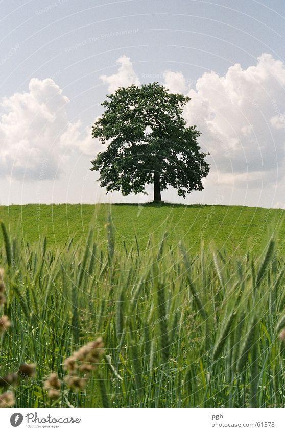 Wunderschöner Baum in Münsing grün Weizen Weizenfeld Wolken alter baum saftiges gras einzeln stehend Hügel Himmel