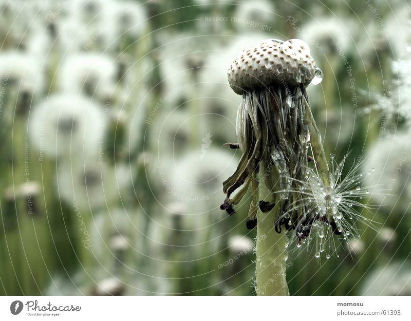 Samenspender Sommer Wiese Blüte Frühling Löwenzahn