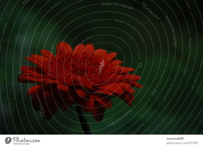 rote blume Blume grün Gerbera
