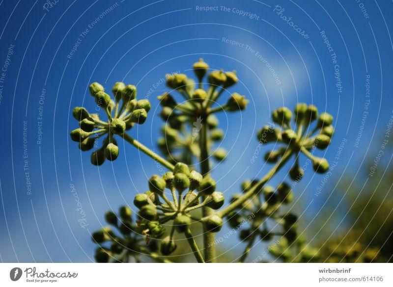 grün und blau... Kräuter & Gewürze Sommer Garten Natur Himmel Efeu Blatt Blüte Grünpflanze Blühend verblüht Duft Farbfoto Nahaufnahme Detailaufnahme Freisteller