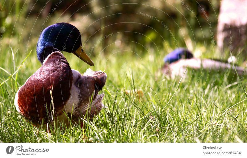 Enten eben Natur grün Tier Gras Vogel Umwelt Rasen Feder Ente Schnabel Stockente