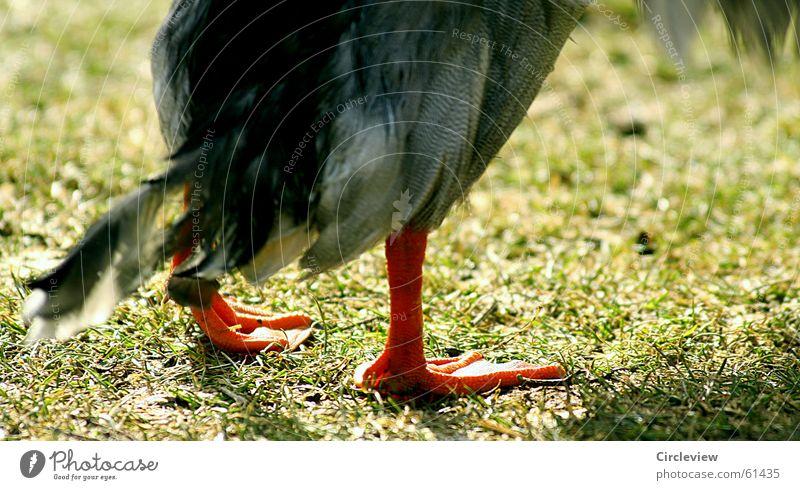 Irgendwie Angeschlagen Natur grün Tier Gras Fuß Beine Vogel Umwelt Rasen Feder Ente Schnabel Schwimmhilfe Stockente