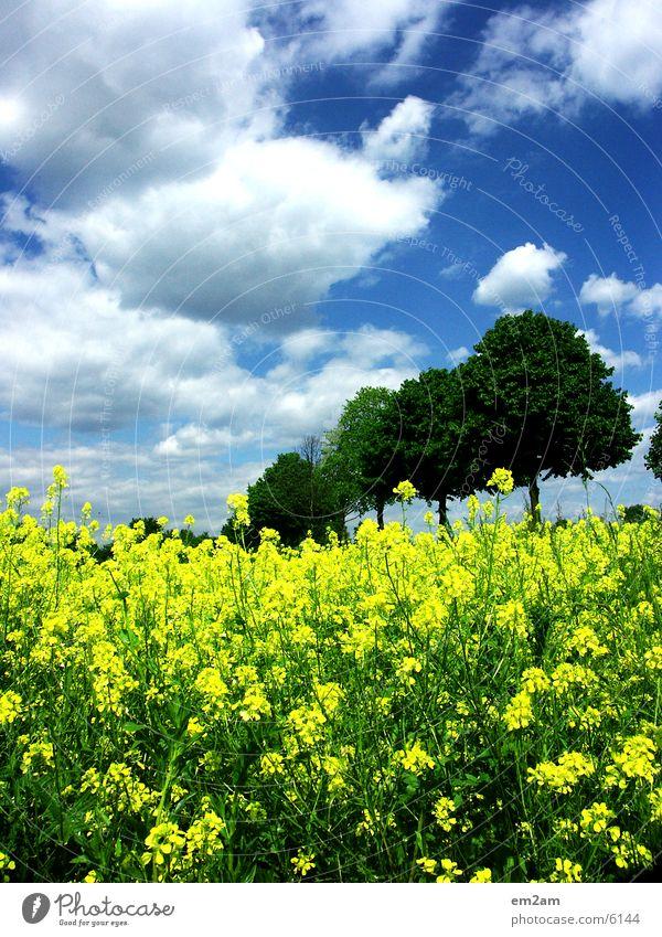 yellow days Baum Sonne Sommer Wolken gelb Feld