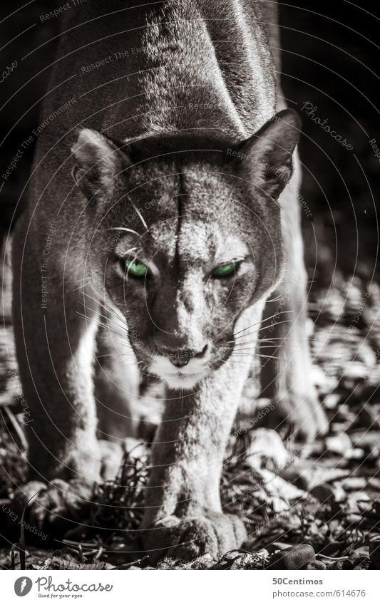 Puma auf der Jagd Zoo Tier Wildtier Katze Raubkatze 1 fangen Fressen Aggression ästhetisch sportlich bedrohlich frei klug Geschwindigkeit schön grün Gefühle