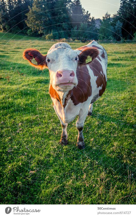 eine österreichische Kuh Milch Gesundheit Ferien & Urlaub & Reisen Tourismus Sommer Umwelt Natur Landschaft Pflanze Wiese Wald Tier Nutztier 1 füttern Blick