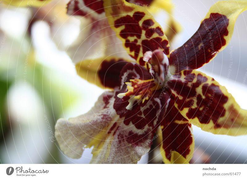 Gefährliche Blume Pflanze rot Unschärfe Orchidee Frühling Sommer Gärtner Fröhlichkeit happy Garten