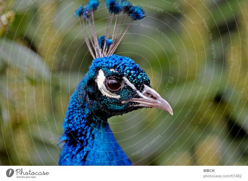 Schau mir in die Augen blau grün weiß Tier Auge braun Nase Feder nah Hals Schnabel gekrümmt krumm Pfau Kamm