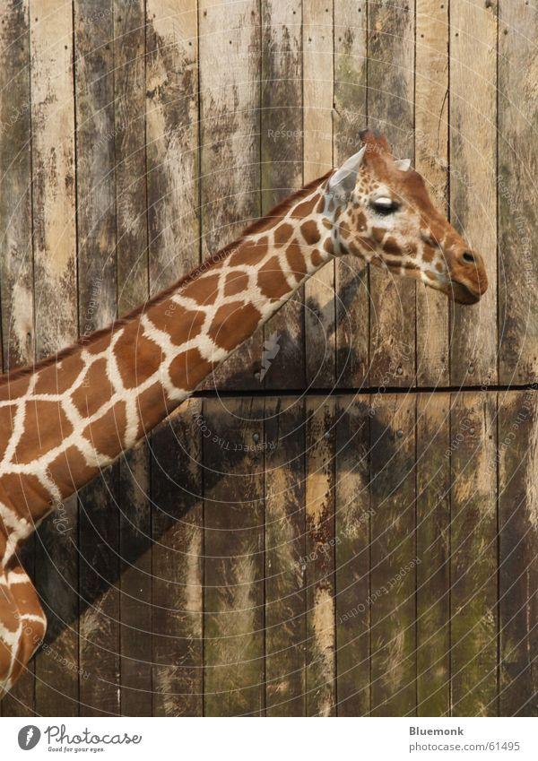 so nen Haaaals Tier Wand braun Zoo Tor Fleck Hals Safari Giraffe
