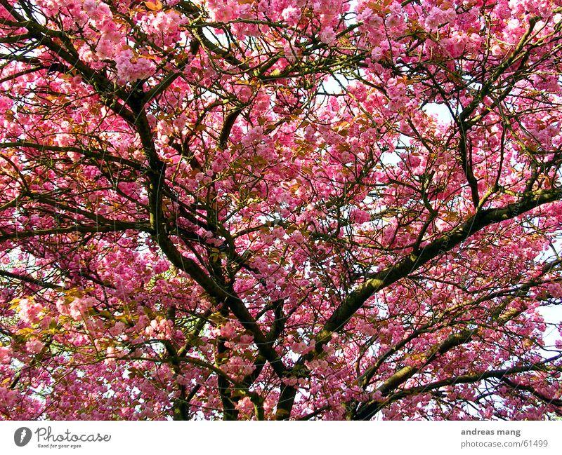 Rosa Blätter Blatt rosa Baum Frühling schön Ast Zweig Blühend tree branch leafs