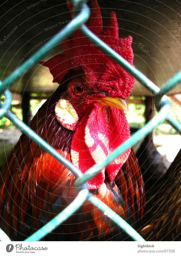 Hinter Gittern Tier Vogel Zaun Haushuhn Justizvollzugsanstalt Stall Hahn Käfig Kamm einsperren Vogelgrippe Hühnerstall
