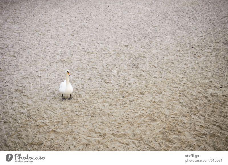 Strandaufsicht Sand Küste Bucht Fjord Nordsee Ostsee Wildtier Vogel Schwan 1 Tier beobachten Aggression bedrohlich rebellisch schön Wachsamkeit Sehnsucht