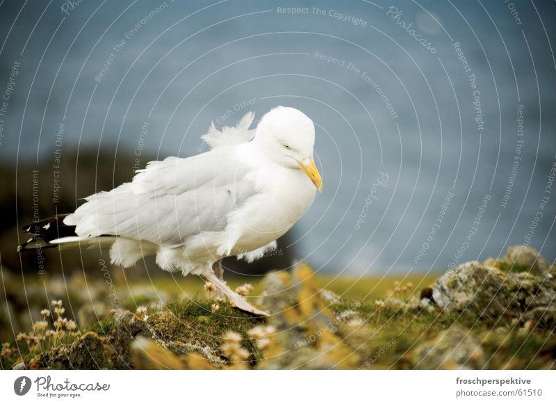 goodbye blue sky Meer Tier See Vogel Küste Wind Möwe Klippe Schottland Möwenvögel Hebriden