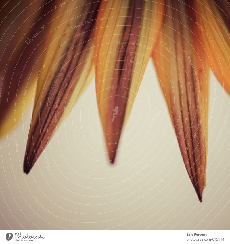 Flauar Umwelt Natur Pflanze Frühling Sommer Blume Blüte Garten ästhetisch natürlich schön braun gelb orange Margerite Blütenblatt zart sanft Farbfoto