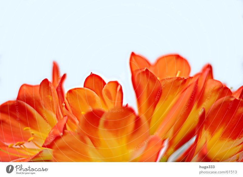 Clivia Blume Blüte rot gelb weiß Verlauf mehrere zart weich Himmel Hälfte Querformat Klivie schön hell flower bloom red skies knows brightly process viele sanft
