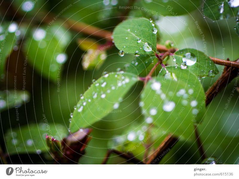 °happiness and sorrow° Umwelt Natur Pflanze Wasser Frühling Regen Sträucher Grünpflanze festhalten glänzend Wassertropfen rund Ast Blatt hydrophob klein viele