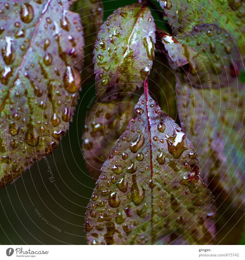 Ein bisschen Trauer bleibt. Umwelt Natur Pflanze Wasser Wassertropfen Herbst Wetter Regen Sträucher Blatt Garten grün rot nass hydrophob Blattadern