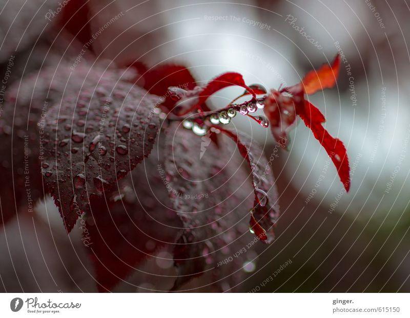 ich werd dich nie vergessen. Natur Pflanze blau rot Blatt dunkel Umwelt Herbst grau braun Regen Wetter frisch Klima nass fokussieren