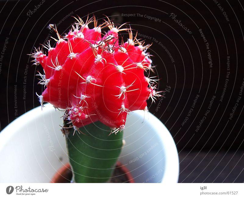 abwehrstellung Kaktus Leben trocken Topf La Défense Behälter u. Gefäße weiß Sauberkeit Hintergrundbild Vordergrund schwarz dunkel rot grün Furche Wölbung klein