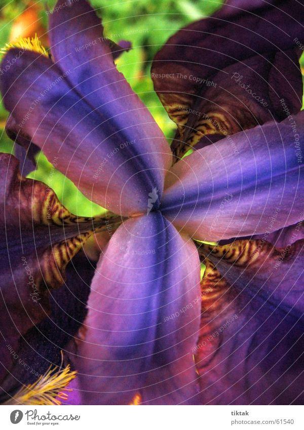 echt krasse blume Blume Blüte Schwertlilie Lilien Blütenblatt Pflanze gelb violett schön Blühend Farbe Frühling Botanik Blumenbeet blau orange Natur Garten