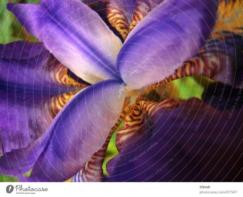 echt krasse blume (2) Blume Blüte Schwertlilie Lilien Blütenblatt Pflanze gelb violett schön Blühend Farbe Frühling Botanik Blumenbeet blau orange Natur Garten