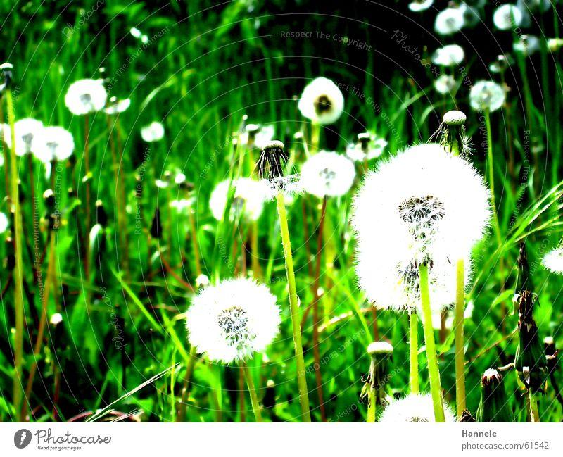 einmal pusten,bitte grün Wiese Löwenzahn Blume Gras Frühling Sommer weiß leicht Leichtigkeit Luft Garten Rasen Natur flower Kontrast
