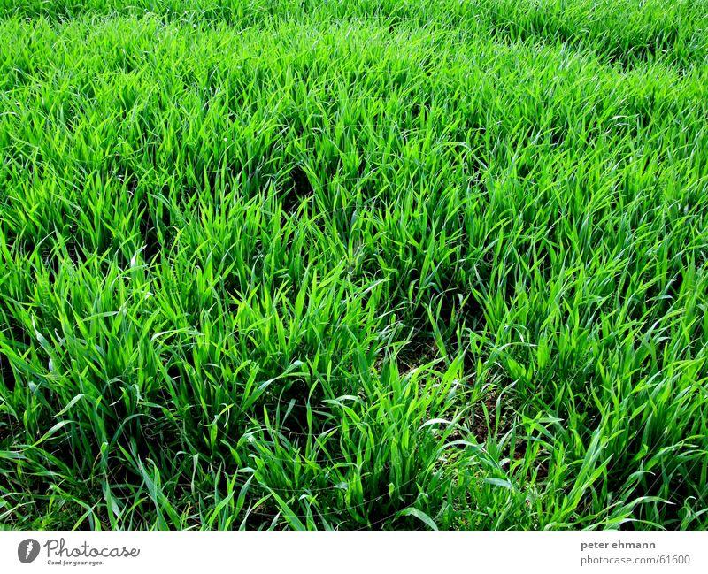 Flokati Gras grün Wiese Reifezeit sprießen Halm Stauden Landwirtschaft Teppich Weide Sträucher saftig frisch Wachstum grass Erde Bodenbelag Rasen Amerika