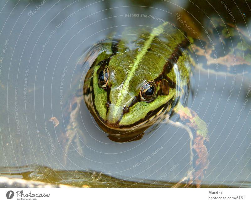Grüner Frosch Unke Streifen Schwimmbad Kröte amphipian frog paddock toad black water sea pond