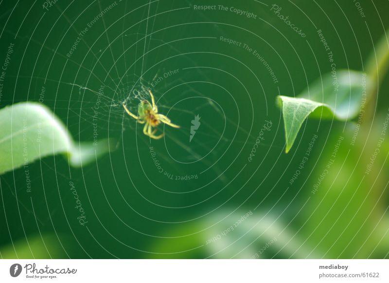 Spider Spinne grün Tier fangen Blatt gewebt Netz Netzwerk auf der lauer kleinstlebewesen Appetit & Hunger sehr klein Garten Außenaufnahme