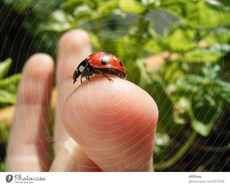 Fingerzeig grün Sommer rot gelb Wiese Garten Zufriedenheit rund Punkt Gemüse Insekt Stillleben Geborgenheit Käfer Marienkäfer
