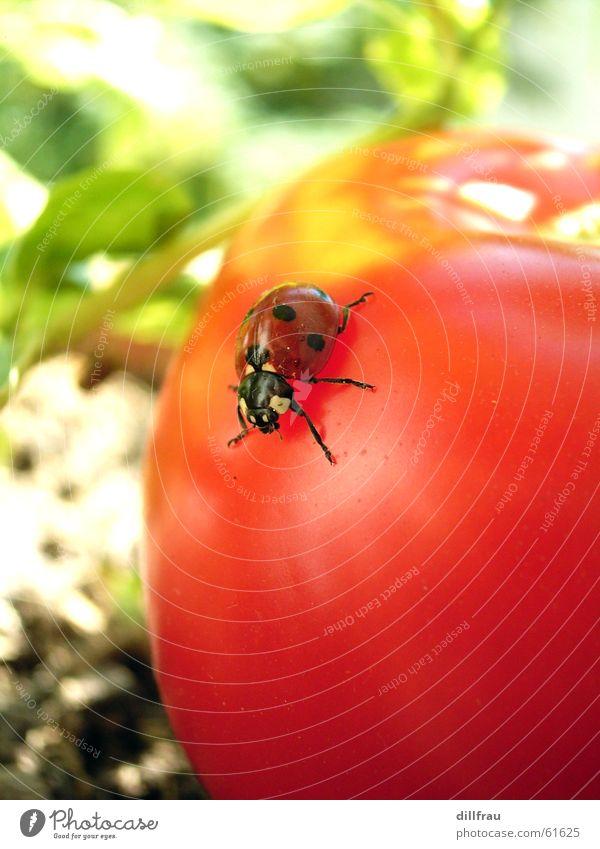 Kribbelkrabbelkäfer grün Sommer Sonne rot gelb Wiese Gesundheit Garten Zufriedenheit Finger rund Punkt Gemüse Insekt Stillleben Geborgenheit