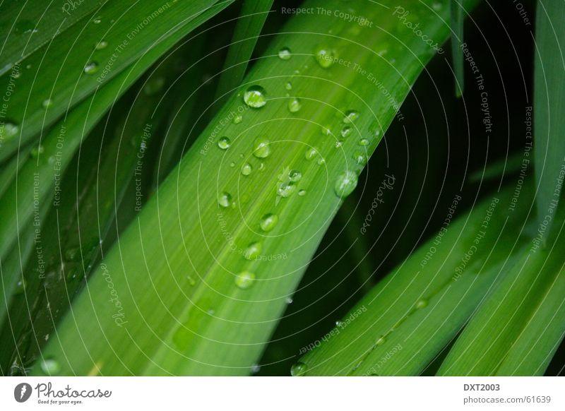Mairegen auf Grashalm 2 Wassertropfen Halm grün Wiese schön Regenwasser Außenaufnahme Landschaft Natur Seil Detailaufnahme Makroaufnahme Nahaufnahme