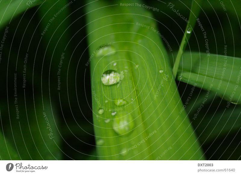 Mairegen auf Grashalm 3 Wassertropfen Halm grün Wiese schön Regenwasser Außenaufnahme Landschaft Natur Seil Detailaufnahme Makroaufnahme Nahaufnahme