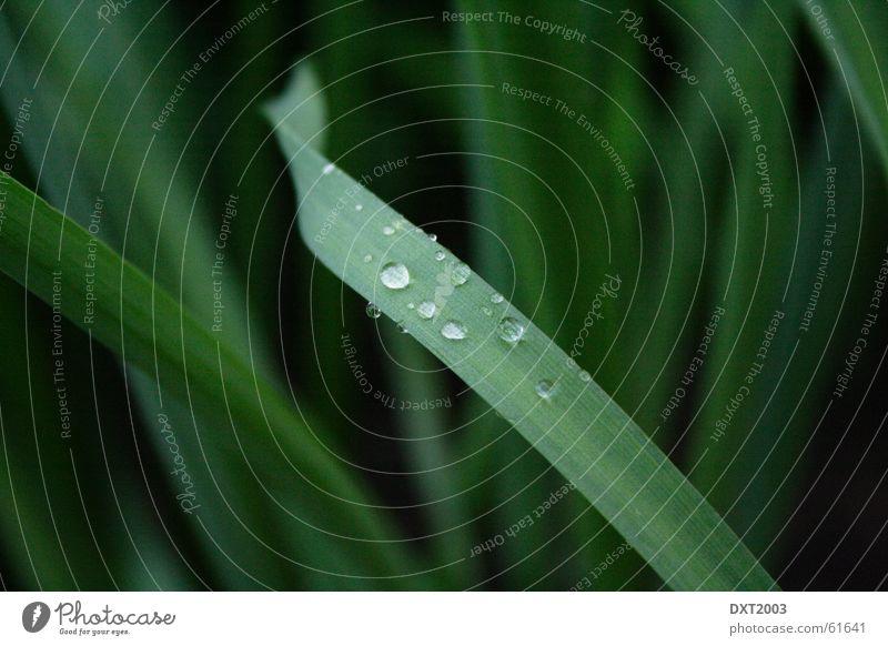 Mairegen auf Grashalm 4 Wassertropfen Halm grün Wiese schön Regenwasser Außenaufnahme Landschaft Natur Seil Detailaufnahme Makroaufnahme Nahaufnahme