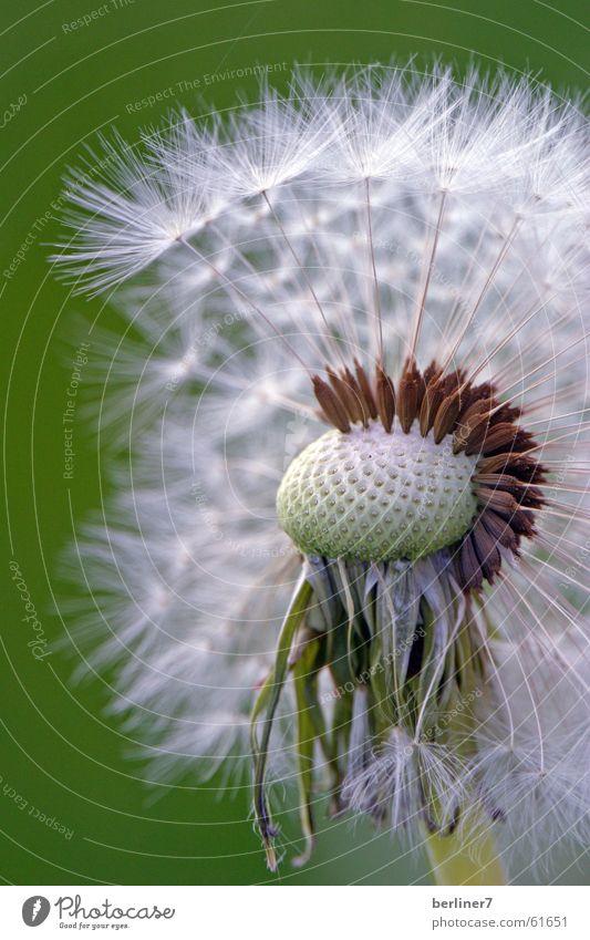 Getarnter Irokese weiß gelb Wiese Feld Löwenzahn Gänseblümchen Blume Wiesenblume