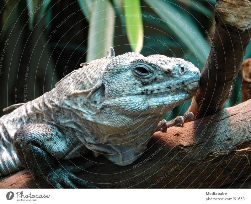 Warten auf den Golfer Echsen grün Reptil Kopfschuppe lässig Baumstamm sitzen Ast