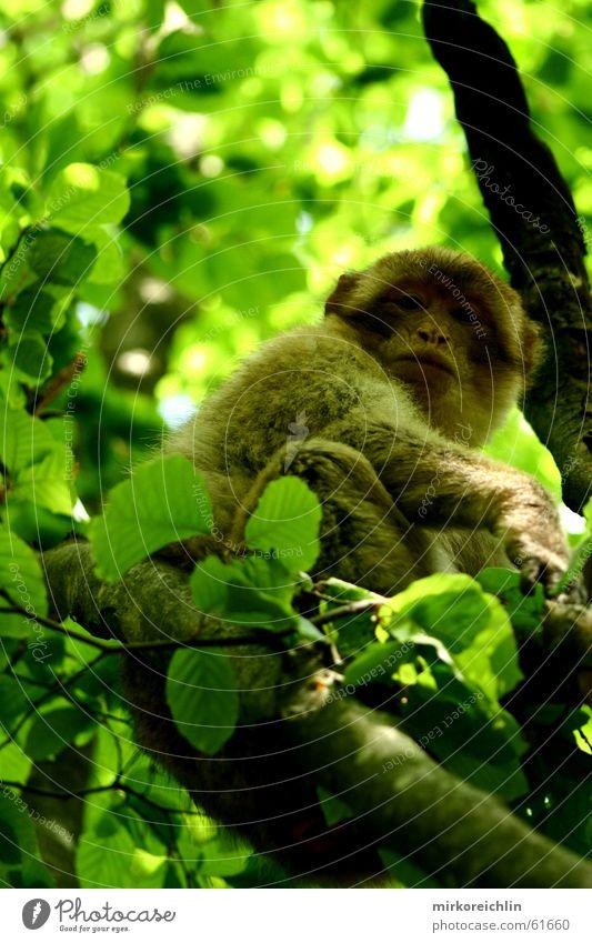Mich kriegst du nicht! Baum grün Blatt Wald Klettern Affen Marokkaner Berber Berberaffen