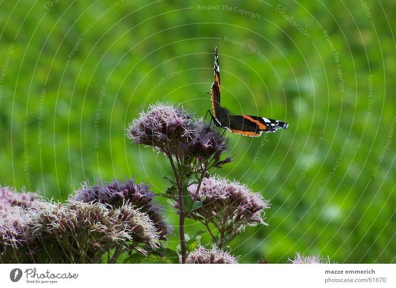 A kiss from a distel Blume grün violett Schmetterling Distel