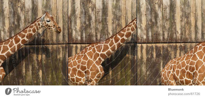 die drei lustigen zwei Holz Rücken Zoo Tor Reihe Fleck Hals Safari Giraffe Poster Starschnitt