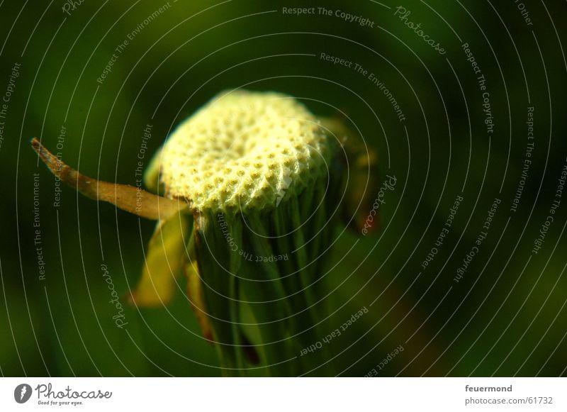 und weggepustet waren sie... Löwenzahn Pflanze Blume Blüte Vergänglichkeit grün Natur verblüht dandelion clock