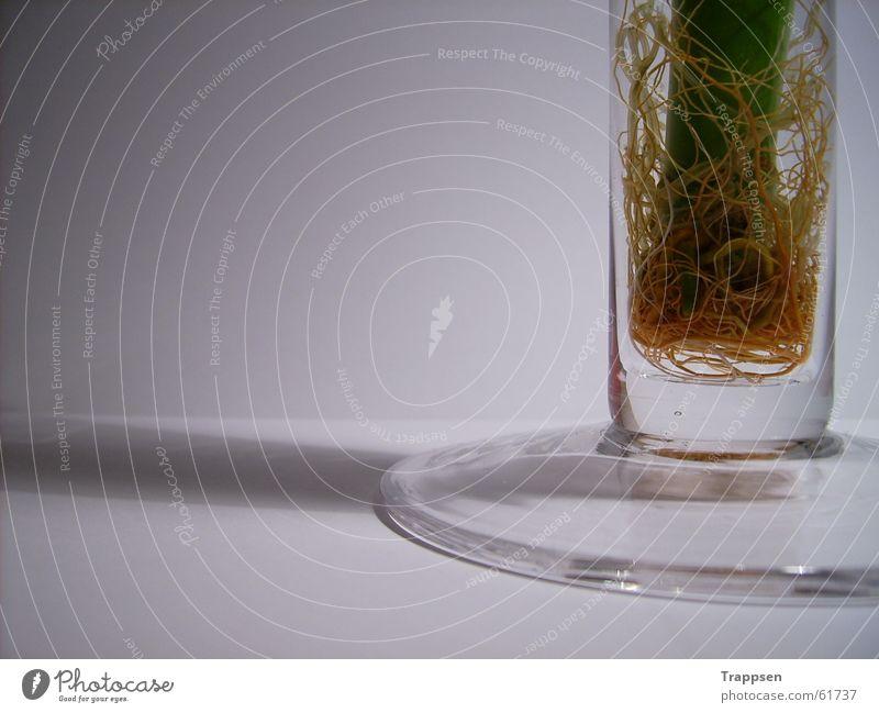 Pflanze in Vase Wurzel Wasser