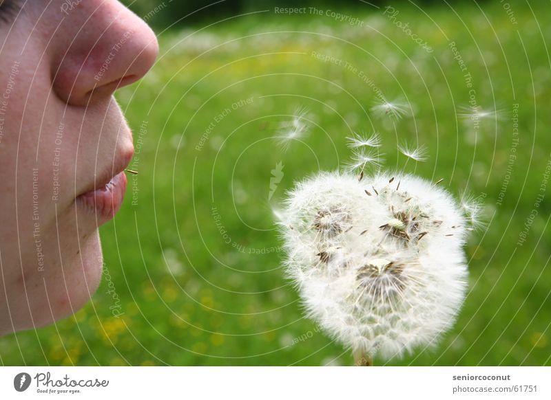 Fortpflanzung Löwenzahn Blume grün Pflanze blasen Sommer Samen