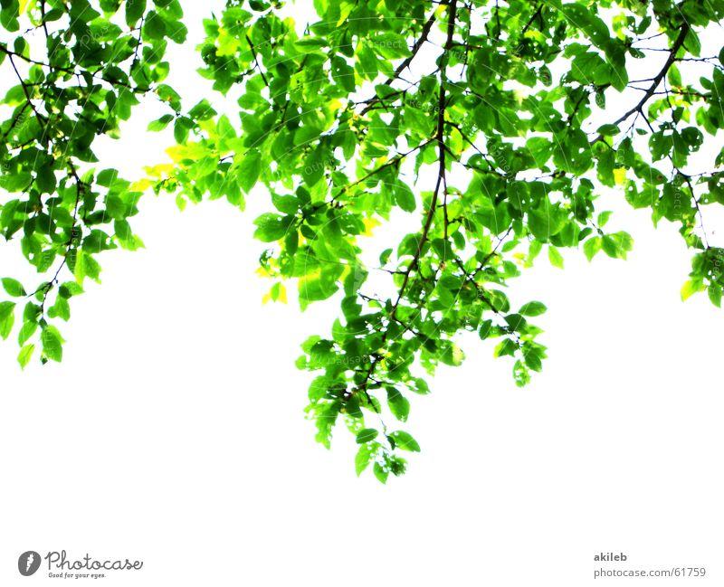 Baumansicht Natur weiß grün Blatt Frühling Hoffnung Ast satt