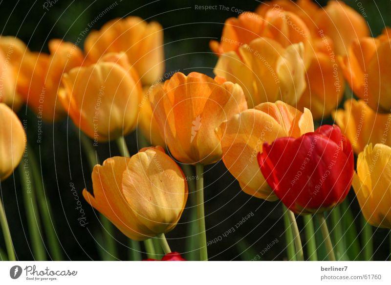 Aussenseiter - Spitzenreiter Blume rot gelb Frühling Stengel Tulpe Beet Frühblüher