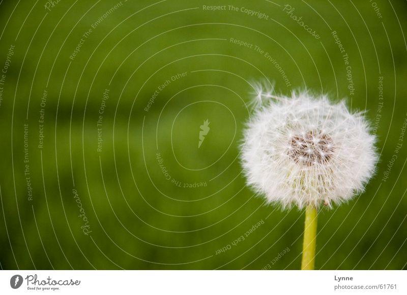 vom Winde verweht Natur weiß Blume grün Sommer Wiese Frühling Luft Löwenzahn luftig