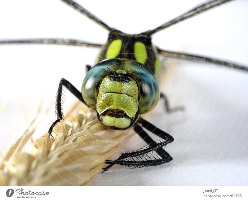 Frontal. Libelle Mosaikjungfer Insekt Makroaufnahme frontal insect Flügel fliegen